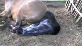 Лошадь рожает жеребёнка!!! Посмотрите!!!(Появление на свет жеребёнка от начала и до конца!, 2013-02-15T09:04:34.000Z)