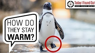 Why Penguins' Feet Don't Freeze
