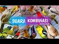 Suara Pikat Burung Kombinasi Anti Zonk  Mp3 - Mp4 Download
