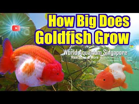 How Big Does Goldfish Grow - Goldfish Tank Size - Biggest Goldfish In The World