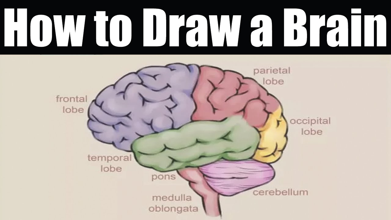 how to draw a brain how to draw brain easy youtube rh youtube com easy way to draw brain diagram easy to draw brain diagram