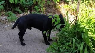 Растительноядная черная собака
