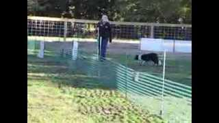 Our First AKC Trial - Krea - A Course Started Ducks at Wooden Ewe Farm