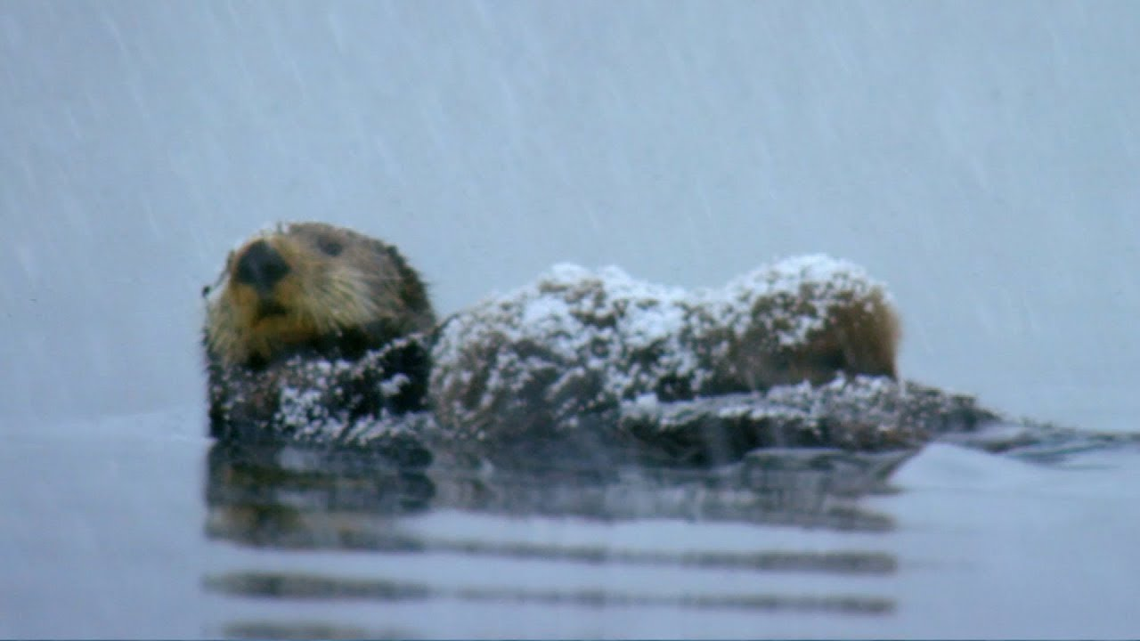 otter loses cub in freezing waters spy in the snow bbc earth