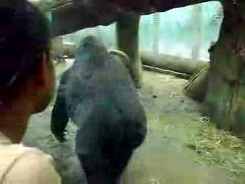 angry gorilla - YouTube - photo#37