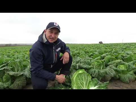 Пекинская капуста Эндуро  F1, выращивание с Био препаратами!