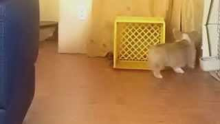 Corgi Chases His Own Leash