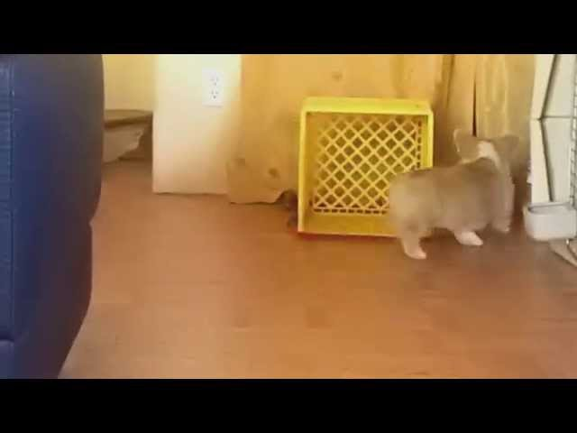 Corgi Puppy Chases His Own Leash