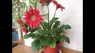 видео Комнатные цветы герберы: уход, размножение и лечение в домашних условиях (+фото)