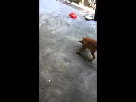 chó phú quốc săn chuột IMG_0200.MOV