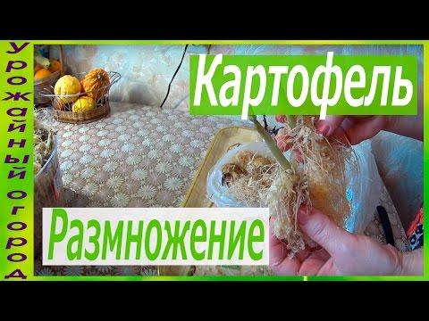 Как омолодить картофель