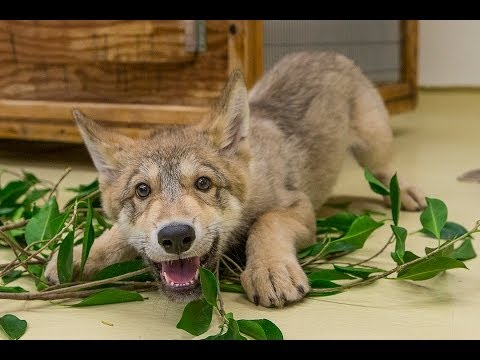 Cute Baby Wolf Puppy Playing at the San Diego Zoo
