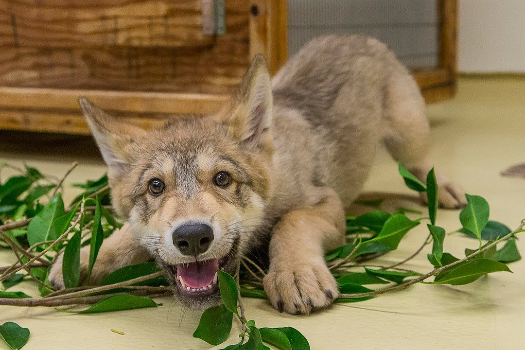 Cute Baby Wolf Puppy Playing At The San Diego Zoo Youtube