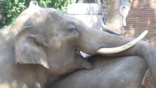 Elephant sex in open place