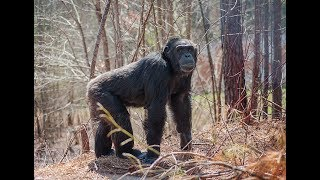 Nine Fierce Chimpanzees Venture Into the Woods for the 1st Time