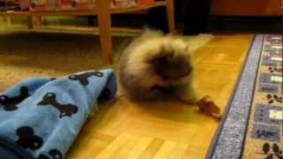 Pomeranian Puppy Barking And Playing