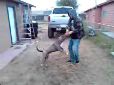 Blue nose pitbull attacks