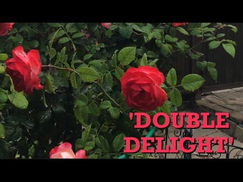 Роза Хамелеон ! Дабл Делайт или Двойное удовольствие !(Роза 'Double Delight')