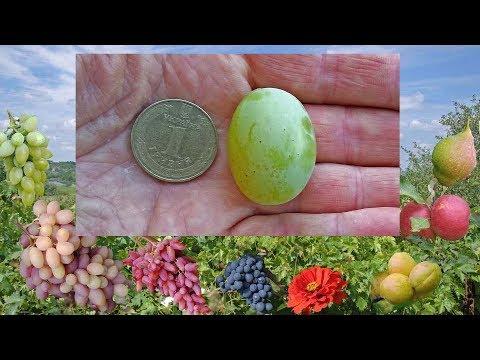 Виноград Талисман (Кеша-1, FV-6-6) – белый виноград