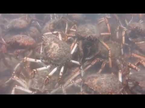 Migrating Spider Crabs Rip Apart Octopus