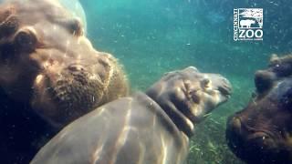 Baby Hippo Fiona Having more Family Time - Cincinnati Zoo