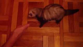 Хорек исполняет команды. Smart ferret rolls by command