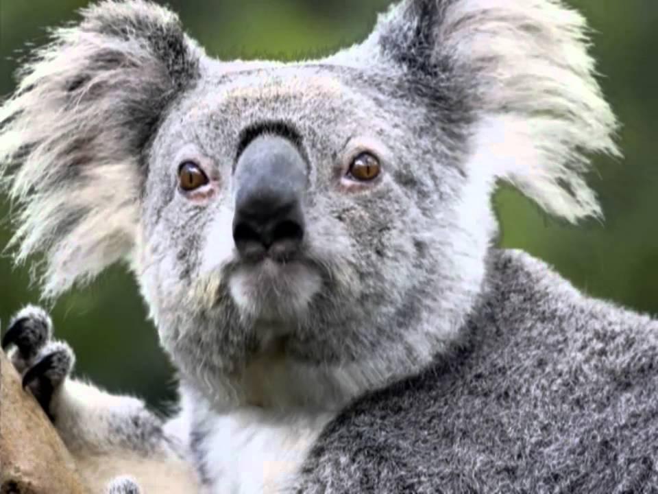 Злая коала фото