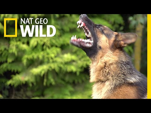 What Makes Some Dogs More Aggressive?   Nat Geo Wild