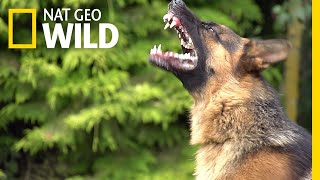 What Makes Some Dogs More Aggressive? | Nat Geo Wild