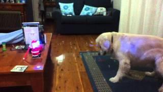 Dog takes Catnip.