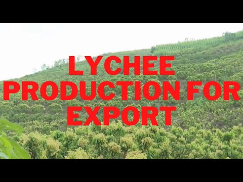 Grows lychees for export, produces lychees in an organic way, ensuring product quality process- NEC
