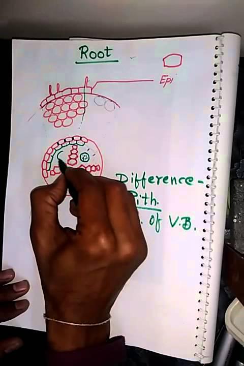 Dicot And Monocot Root Anatomy In Hindi Youtube