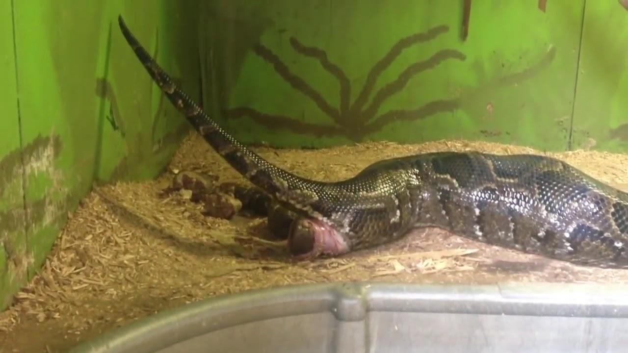 Snake pooping oakton va youtube