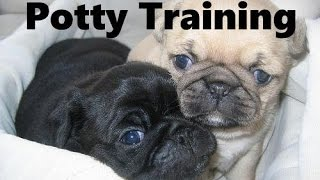 How To Potty Train A Pug Puppy - Pug House Training Tips - Housebreaking Pug Puppies Fast & Easy