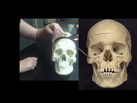 Detailed Anatomy Of The Human Skull The Cranial And Facial Bones