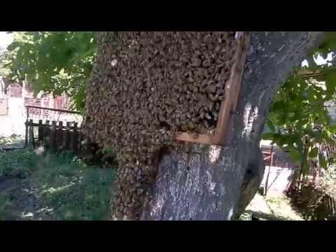Пчеломатки. Пчеломатка плодная и неплодная. Пчелиные матки