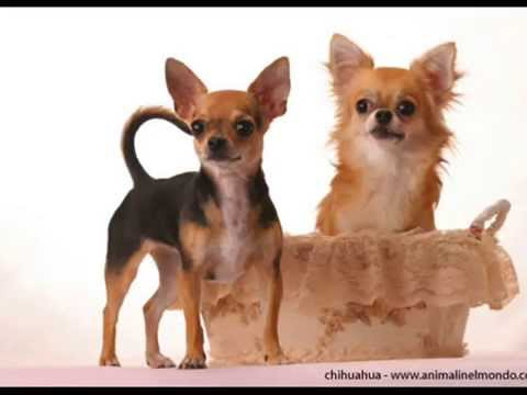 Razas De Perros Chihuahua Youtube