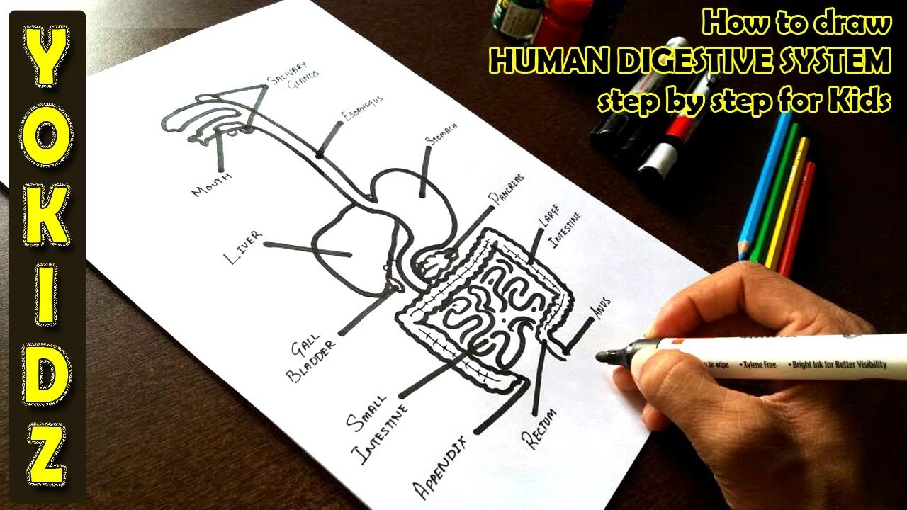 How To Draw Human Digestive System Step By Step For Kids Youtube