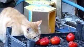кот ест помидоры