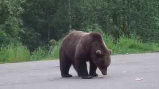 Медведь на дороге, мурманская область(Видео Александра Смирнова ., 2015-08-03T13:33:31.000Z)