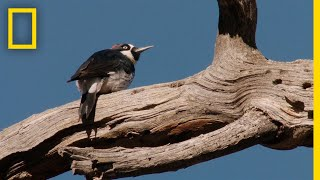 Woodpeckers Defend Their Food Supply   National Geographic