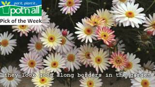 Marguerite Daisies- Pot'n All Pick Of The Week May 25th-31st