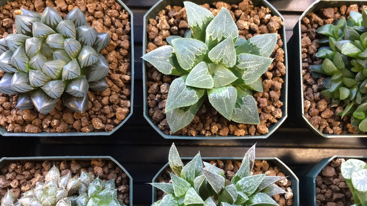 WHEN SHOULD I WATER MY SUCCULENTS - How Often I Water ...