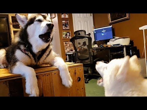 FAIL! Teaching Husky Puppy To Howl...............lol