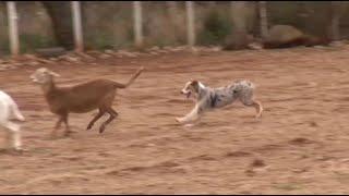 Mira como trabaja Texana, la perrita pastor australiano.