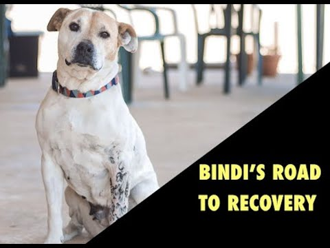 Bindi the staffy's road to recovery: Part 2