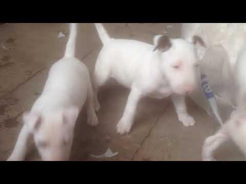 english bull terrier pups kc reg