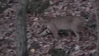 coshocton bobcat 11 7 20161
