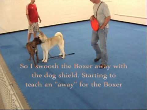 How to introduce two dogs - Akita and Boxer
