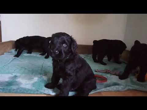 Русский черный терьер щенки 1 месяц